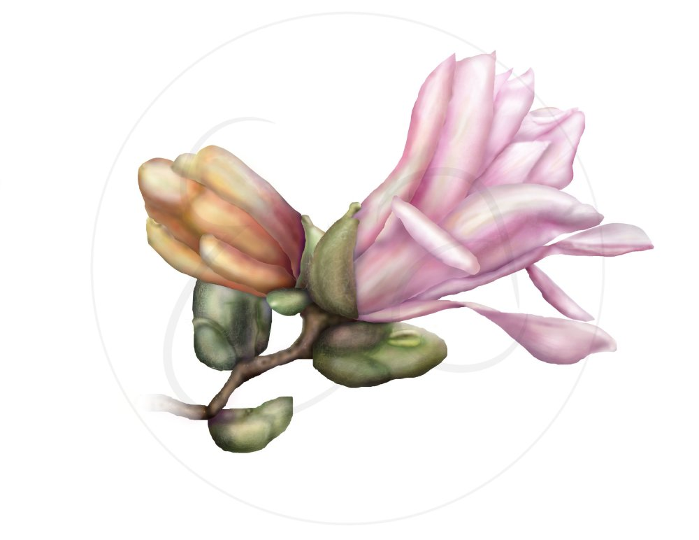 magnolia-illustration