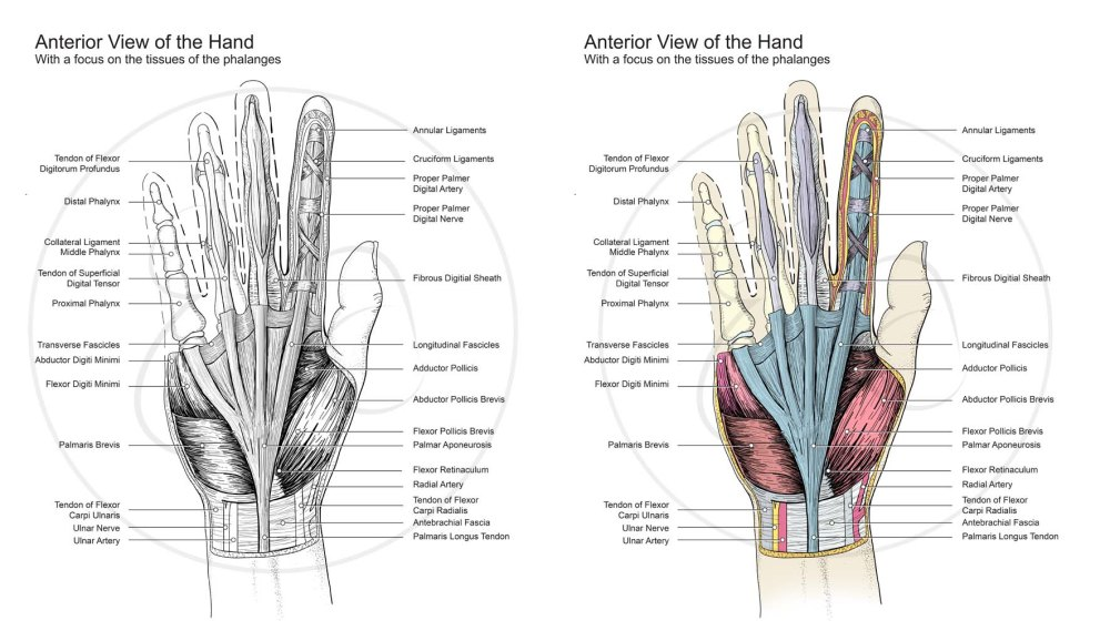 hand-dissection-drawing