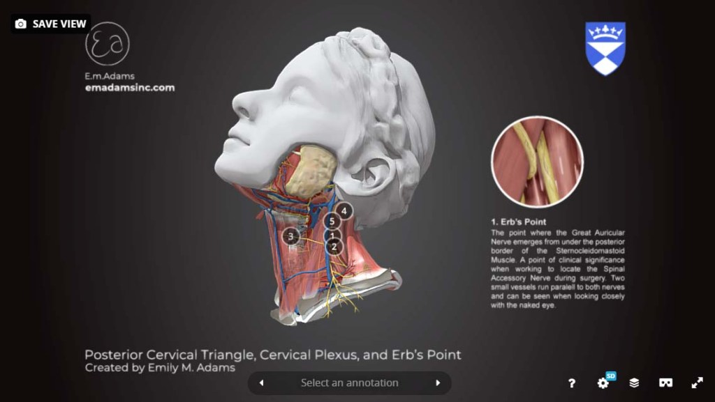 posterior-cervical-triangle-cervical-plexus-erb's-point-3D-model