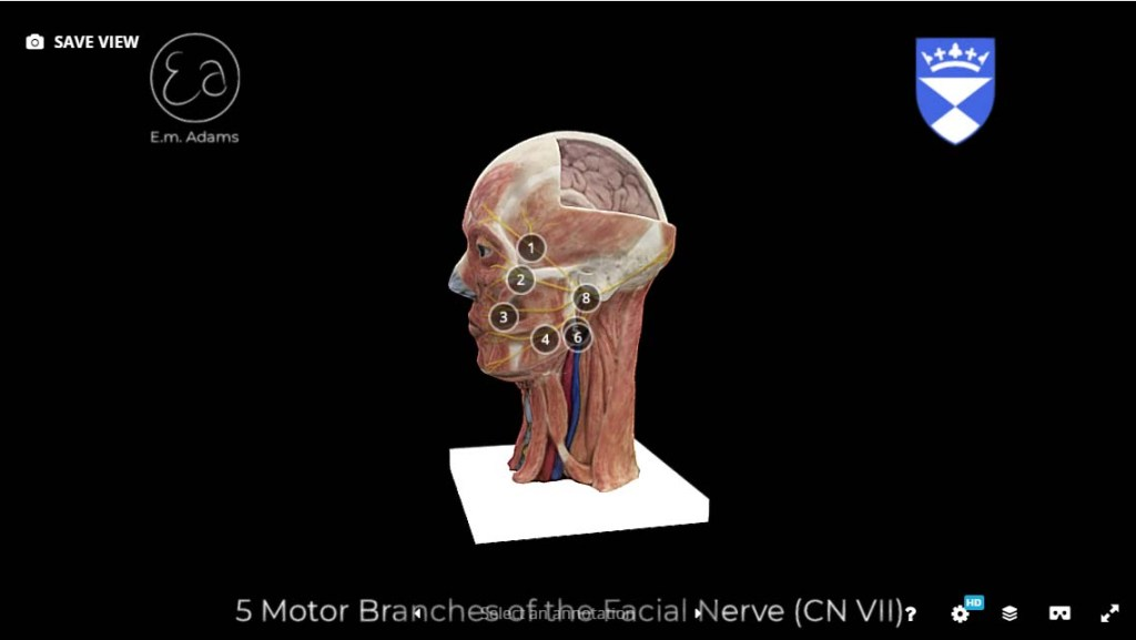 5-motor-branches-facial-nerve-3D-model