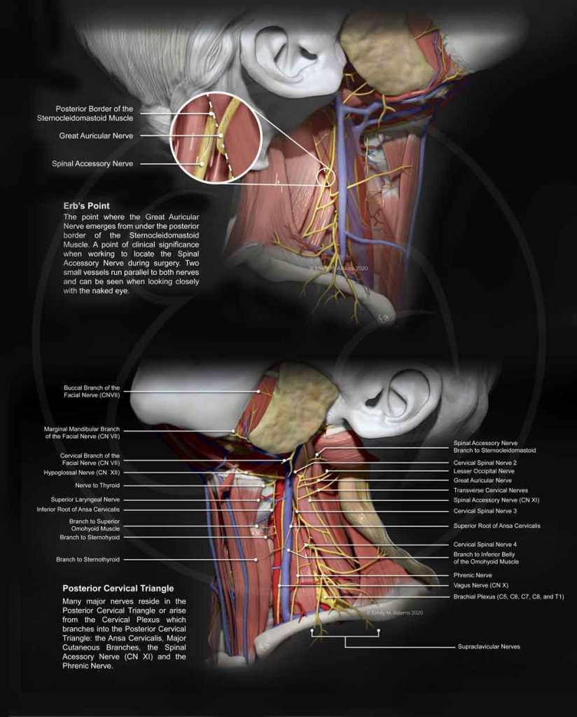 cervical-plexus-erbs-point
